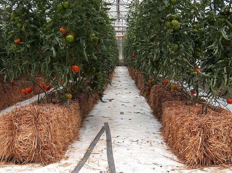 Culture hydroponique (aussi appelée hors-sol) de la tomate Black Magigno sur des ballots de paille, en Italie. © Giancarlo Dessi, Wikimedia Commons, CC by-sa 3.0