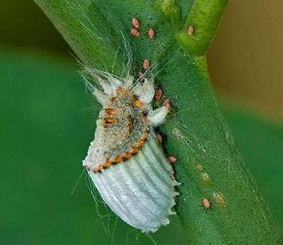 Les cochenilles se nourrissent de la sève des plantes. © Vijay Cavale, licence de documentation libre GNU, version 1.2