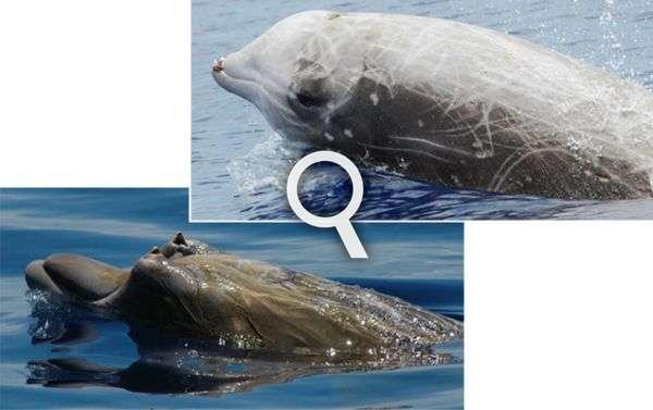 En haut, la baleine à bec de Cuvier, Ziphius cavirostris, la plus commune des baleines à bec. En bas, la baleine à bec de Blainville, Mesoplodon densirostris, qui vit dans les eaux chaudes. Ces deux espèces sont probablement les plus sensibles aux sonars. © Bahamas Marine Mammal Research Organisation