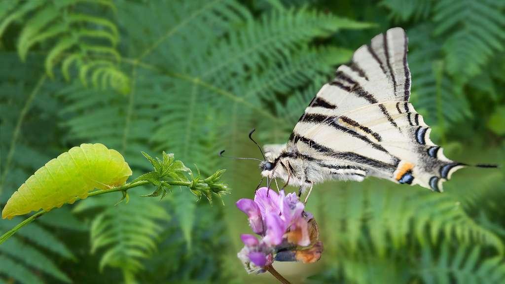 Le Flambé, un papillon splendide