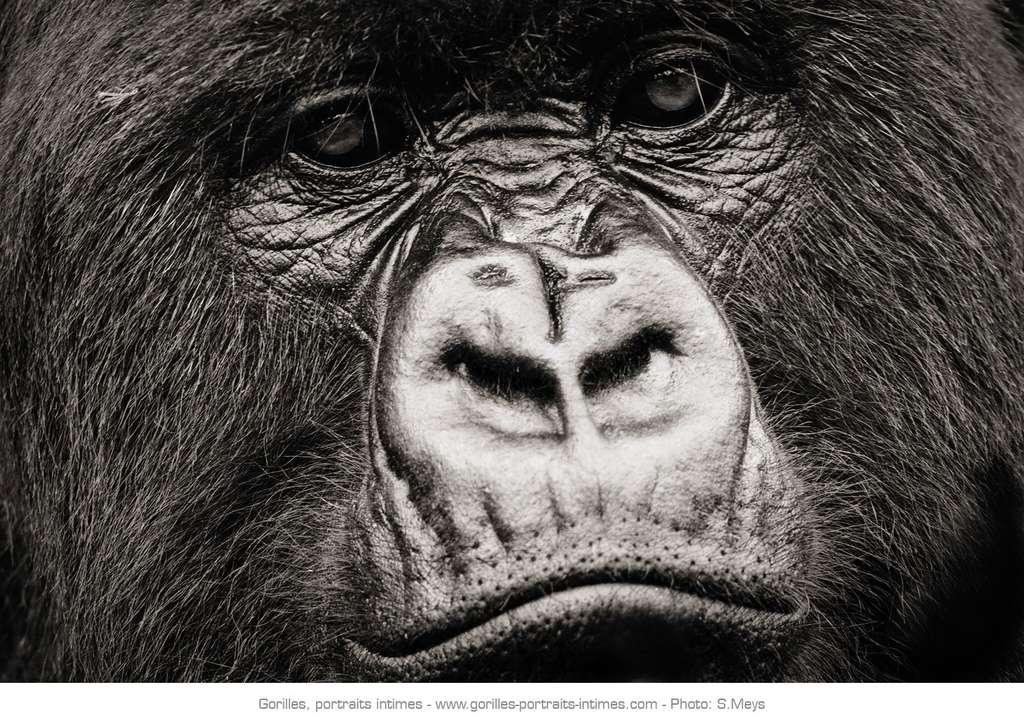 Gros plan sur le visage d'un gorille