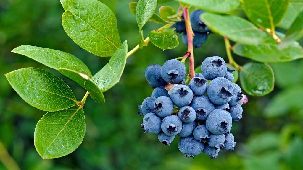 Les myrtilles sont de petits fruits bleus délicieux. © Maria Dryfhout, Shutterstock