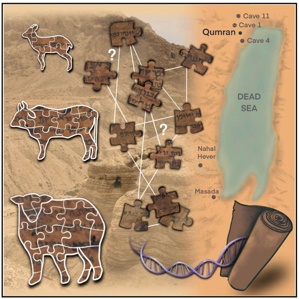 L'étude ADN des parchemins fait en peaux d'animaux permet de retracer l'origine des fragments des manuscrits de la mer Morte analysés. © Sarit Anava et al. Cell