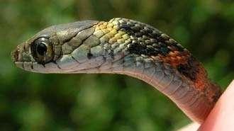 Ce joli petit serpent asiatique, Rhabdophis tigrinus, est venimeux et voleur... Crédit : Alan H. Savitzky