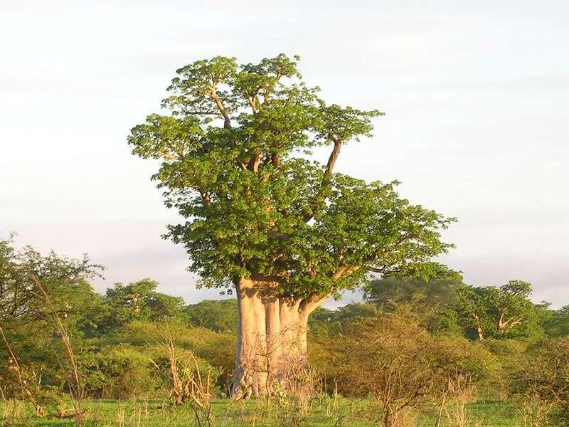 Baobab dans la réserve de Bandia, au Sénégal