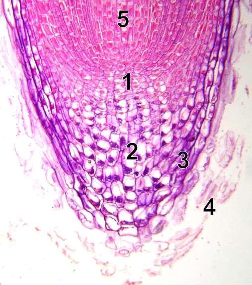 Le méristème fait partie des tissus fondamentaux du végétal. Sur cette pointe racinaire au microscope, 1 : mérystème, 2 : columelle, 3 : partie latérale de la coiffe, 4 : cellules mortes arrachées, 5 : zone d'élongation. © Emmanuel.boutet, Wikipédia, CC by sa 2.0
