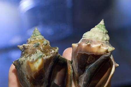 La conque, un gastéropode, souffre de l'acidification. A gauche, l'animal s'est développé dans une eau de mer similaire à celle des océans actuels. A droite, l'animal a effectué sa croissance dans une eau très riche en dioxyde de carbone, mimant ce qui sera peut-être l'océan mondial dans un demi-millénaire. La coquille est fine et fragile. En fait, l'aragonite, une forme de carbonate de calcium, tend à se dissoudre dans l'eau. © Tom Kleindinst, Woods Hole Oceanographic Institution