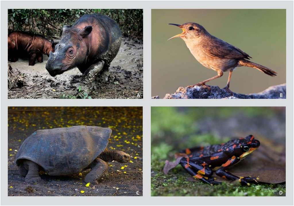 Quelques espèces de vertébrés menacées d'extinction 1. Rhinocéros de Sumatra 2. Troglodyte de Clarion 3. Tortue géante des Galápagos 4. Grenouille arlequin © Rhett A. Butler, Claudio Contreras Koob, G.C.