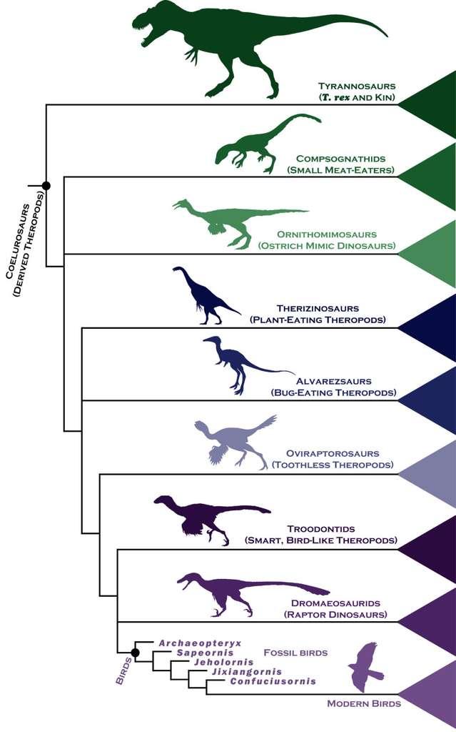 L'arbre phylogénétique des dinosaures théropodes, qui inclut nécessairement les oiseaux (Modern Birds, en bas), tel qu'il est donné par Steve Brusatte. On voit que ces derniers sont étroitement apparentés aux dromaeosauridés et aux troodontidés (petits et leur ressemblant beaucoup, Smart, bird-like theropods), mais aussi aux oviraptors (les « voleurs d'œufs »), les Alvarezsauridae et les thérizinosaures, des herbivores (Plant-eating theropods). © Steve Brusatte