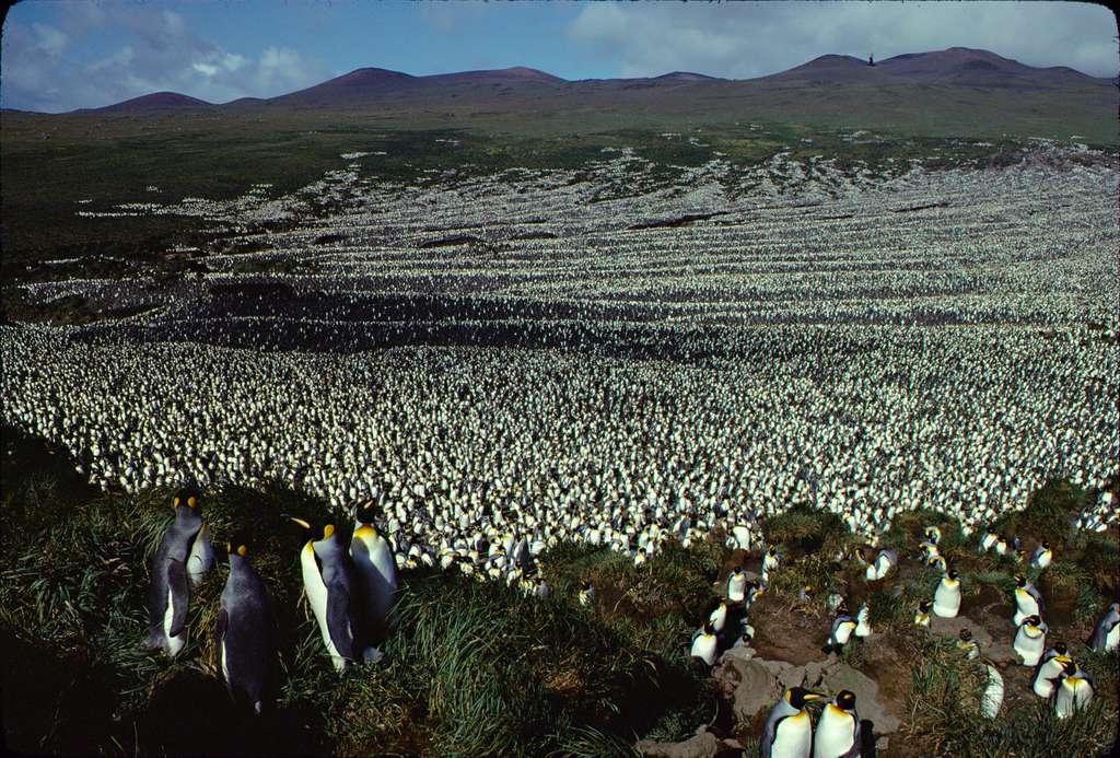 La colonie de manchots royaux de l'île aux Cochons en 1982. © Henri Weimerskirch