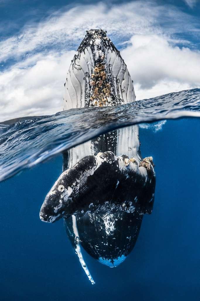 «Bien que pesant plusieurs dizaines de tonnes, ce mammifère a montré une agilité et une puissance incroyable en se tenant verticalement dans l'eau», raconte Greg Lecoeur qui se rend régulièrement à Tonga pour rencontrer des baleines à bosse. © Greg Lecoeur, UPY 2018
