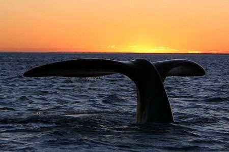La baleine franche australe est un cétacé mysticète. © Wikipedia