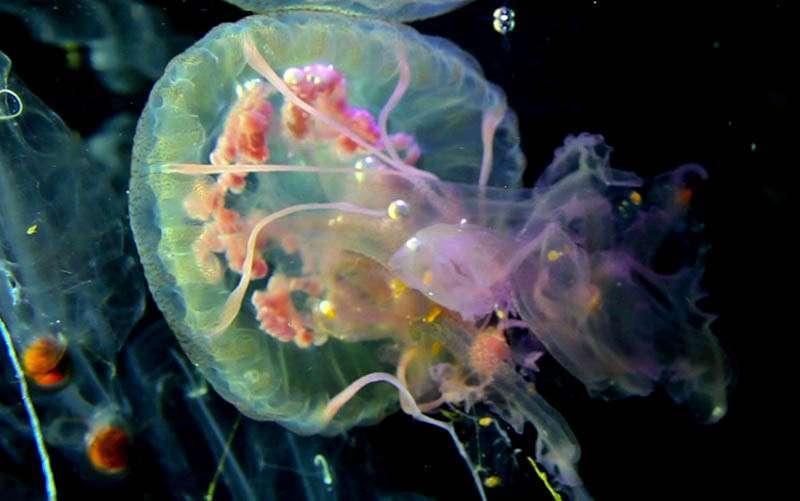 Méduse Pelagia vue de dessous : on distingue sous l'ombrelle des tissus roses qui sont les quatre gonades femelles, huit tentacules marginaux et quatre bras entourant une bouche. © C. Sardet/CNRS
