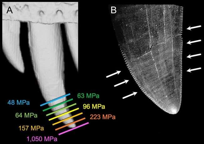 La forme conique des dents assure des pressions élevées. Elles sont indiquées ici, en MPa (mégapascals), sur une dent de 37 mm de hauteur en fonction de la section, donc de l'enfoncement. Sur les 25 premiers millimètres de la morsure, la pression est supérieure à 65 MPa. © Paul Gignac et Gregory Erickson, Scientific Reports