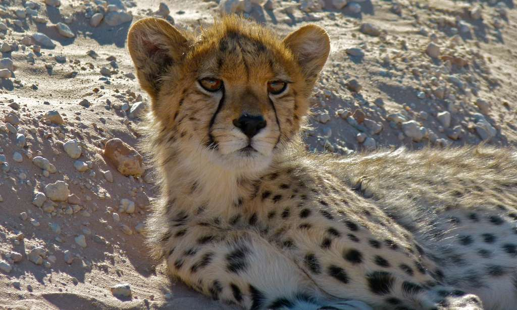 Cheetah junévile (Acinonyx jubatus) © Berniedup/Flickr, CC by-nc-sa 2.0