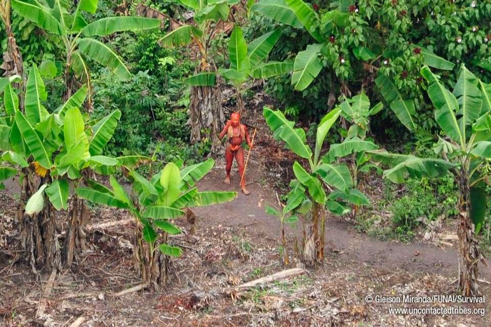 Un Indien, enduit de roucou, une peinture corporelle rouge, photographié au milieu d'une bananeraie. © Gleison Miranda/Funai/Survival (site Survival France)