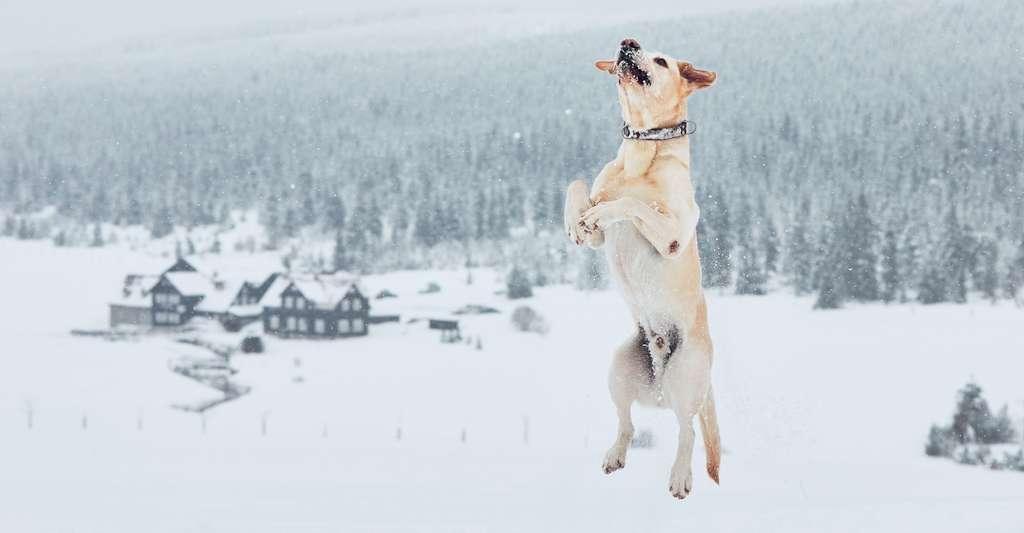 Le labrador fait partie des chiens qui supportent le mieux le froid. C'est un chien rustique au sous-poil dense. © chalabala, Fotolia