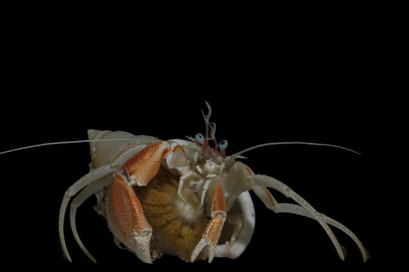 Le bernard-l'hermite Paguridae et son anémone de mer