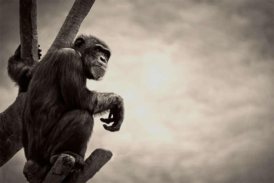 Les chimpanzés et les gorilles, qui nous sont si proches, subissent la menace Ébola de plein fouet. Les plus imposants des grands singes ont même vu le tiers de leur population décimée en 2007. © TomConvex, Flickr, cc by nc nd 2.0