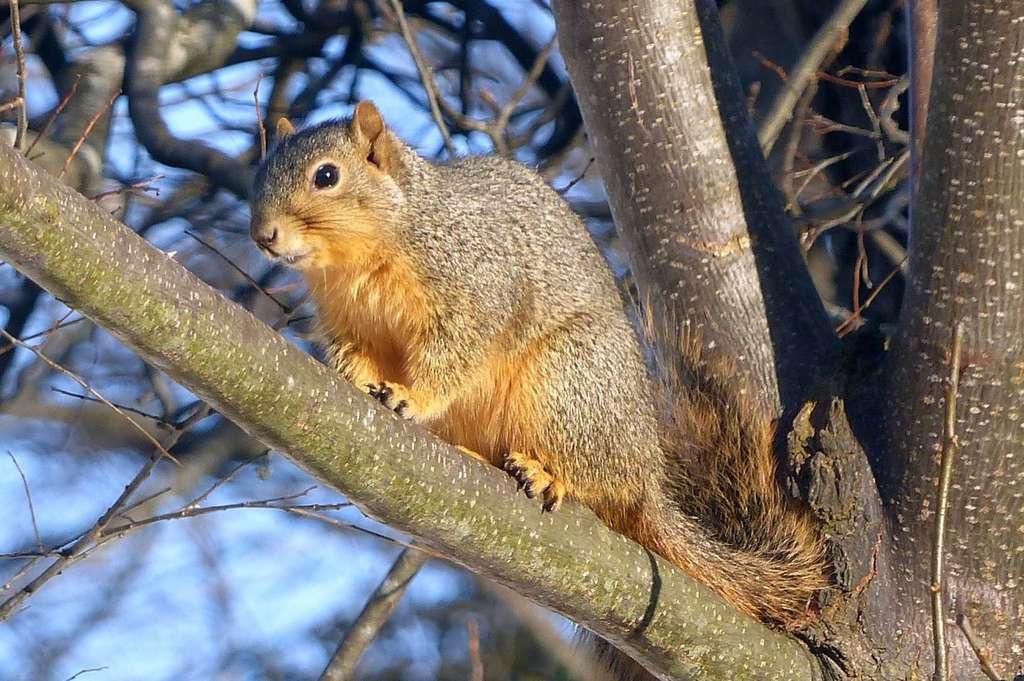 Écureuil fauve © arbutterflynut, iNaturalist
