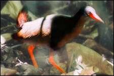 Le Râle de Calayan (Gallirallus calayanensis) vient d'être découvert sur l'île de Calayan, au nord des Philippines (image légèrement retouchée par l'auteur) © Photo : Carmela Española - www.birdwatch.ph