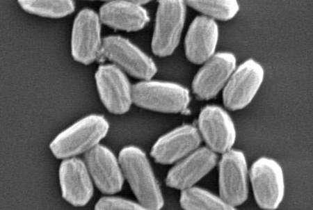 Bacillus pumilus sera-t-elle la première forme de vie que nous découvrirons sur Mars ? Crédit Nasa