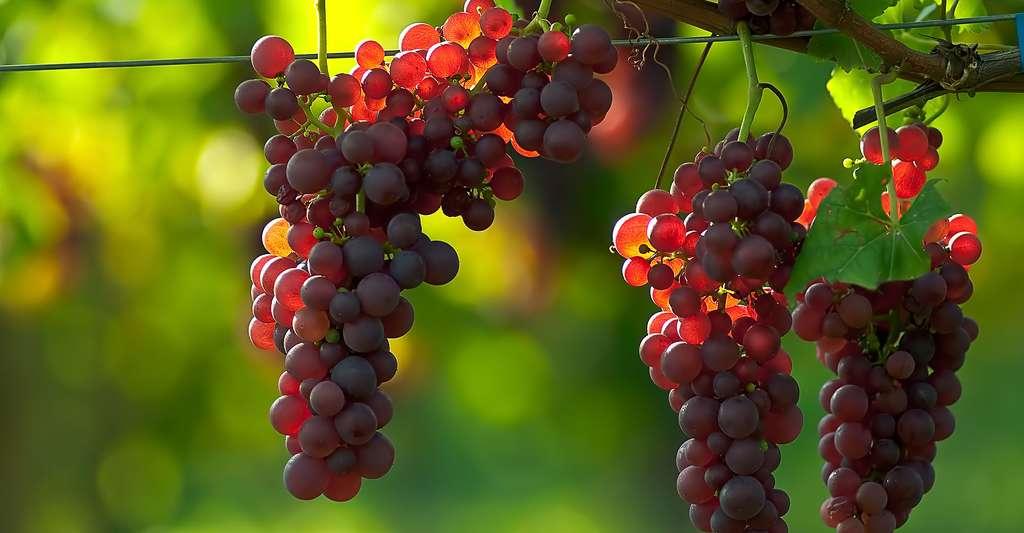 Raisins au soleil © Def110 - CC BY-NC 2.0