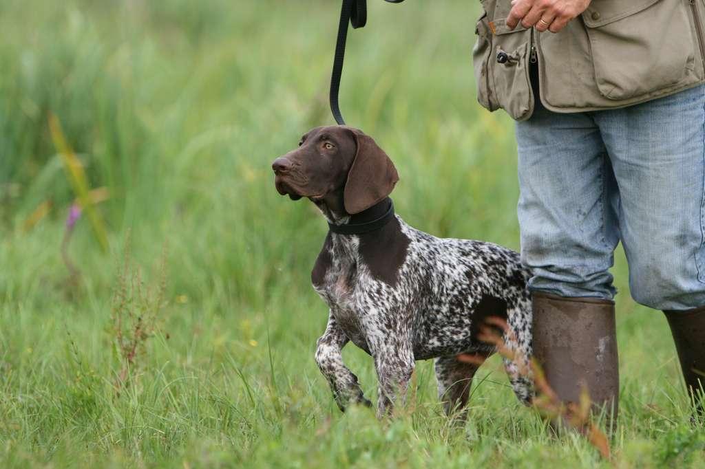 Le braque allemand piste le gibier pour guider le chasseur jusqu'à sa proie. © Dogs, Adobe Stock
