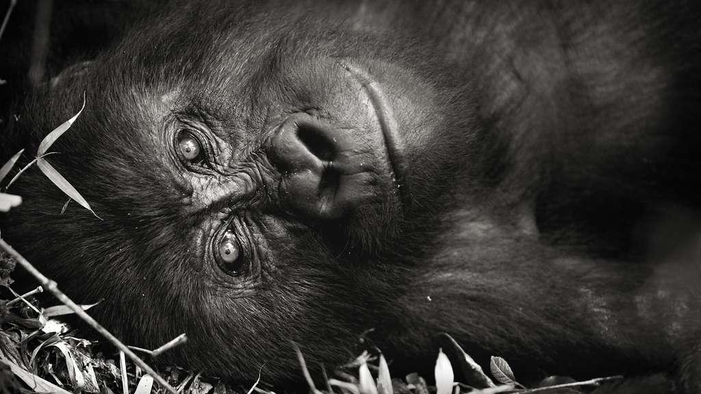 Le regard est un vecteur important chez le gorille