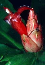 Les ancêtres de cette plante africaine, du genre Costus, proche du gingembre, ont connu des phases évolutives accélérées, repérées dans les génomes des différentes espèces.