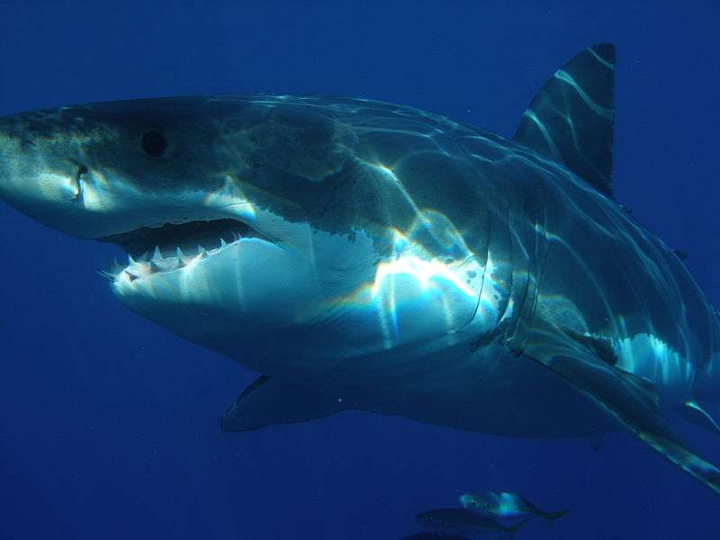 Grand requin blanc. © Sharkdiver68, domaine public