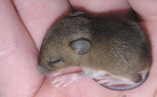Chez la souris, un régime sans excès de graisse favorise un bon rythme circadien. © e3000, Flickr, CC by-nc-sa 2.0