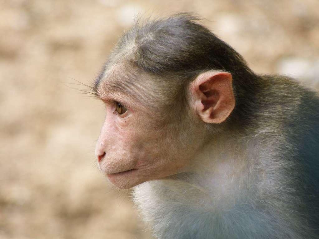 Sur les 11 macaques rhésus ayant reçu un gène de cerveau humain, seuls cinq ont survécu. © smerikal, Flickr