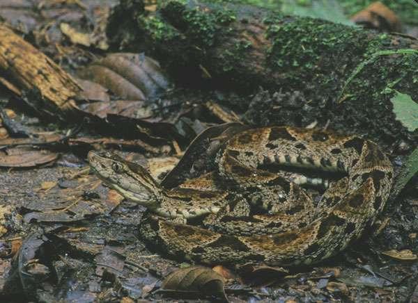 Vipère fer-de-lance (Bothrops asper) : la morsure de ce serpent est mortelle. © Sylvain Lefebvre & Marie-Anne Bertin, DR