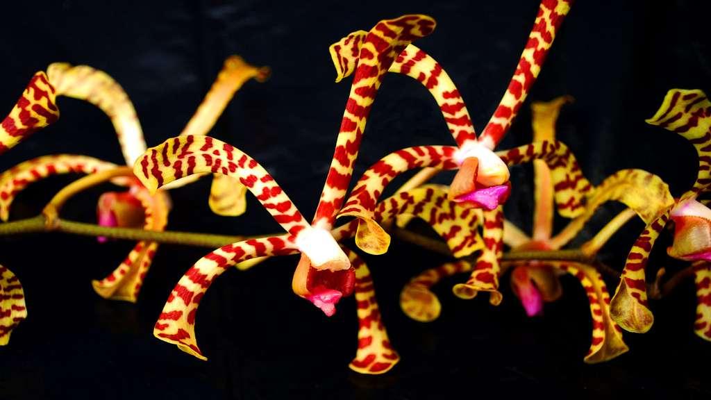 Arachnis, une orchidée d'Asie du Sud-Est