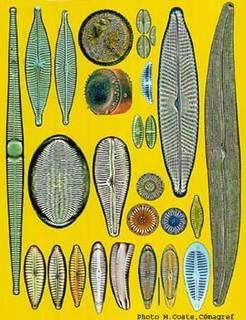 Diatomées en eau polluée. © Coste, Cémagref