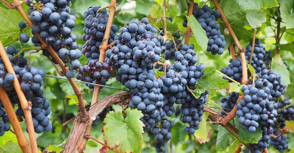 Magnifiques grappes de raisin. © Hans, CC BY-NC 2.0