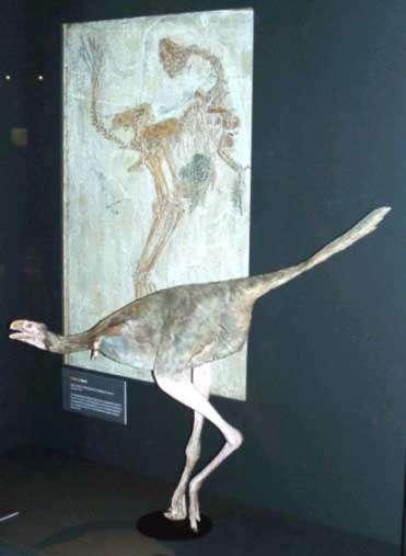 Squelette et reconstitution de caudipteryx, un « dinosaure à plumes » du Crétacé inférieur (environ 120 millions d'années) de Chine (Naturhistorisches Museum, Bâle, Suisse). La position systématique de cet animal, qui possède des plumes de type évolué, est discutée, certains y voyant un dinosaure, d'autre un oiseau primitif ayant perdu la faculté de voler. De tels êtres illustrent combien il est devenu difficile de tracer une frontière précise entre certains dinosaures et leurs descendants, les oiseaux. © DR