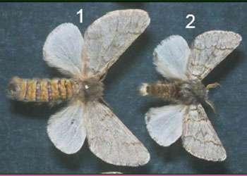Figure 2 : différence de taille des adultes, avec, en 1, une femelle et, en 2, un mâle. © Photo Démolin, DR