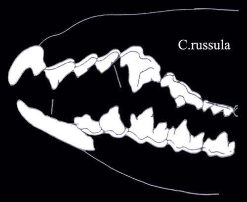 Crocidura russula denture. © Toute reproduction et utilisation interdites
