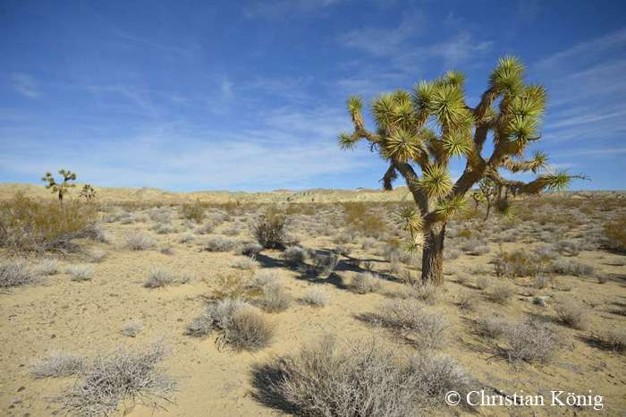 Yucca brevifolia. © Tous droits réservés
