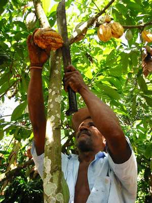Cueillette du cacao. © Conacado Co-operative - The Fairtrade Foundation
