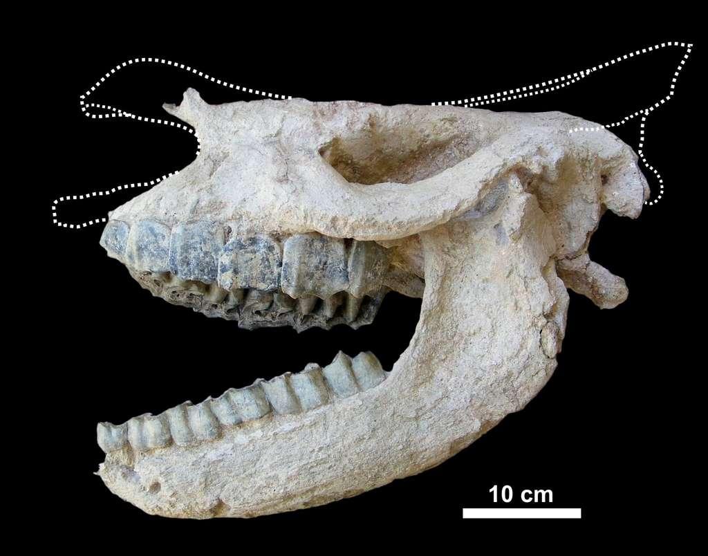 Ce crâne de Ceratotherium neumayri, un rhinocéros à deux cornes aujourd'hui disparu, a été découvert dans une roche volcanique en Anatolie (Turquie). Les lignes en pointillés indiquent la position de certaines parties manquantes. © Pierre-Olivier Antoine