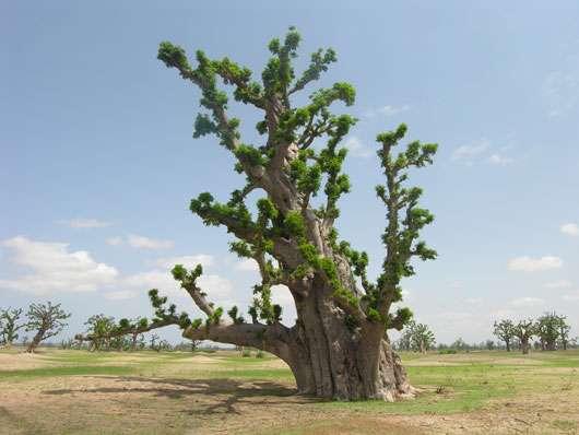 Baobab incliné au Sénégal