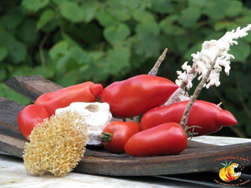La tomate cornue d'Ischia est un fruit allongé, de forme semblable à celle du piment. Elle se prête bien à la préparation de coulis et de sauces. © Tomodori
