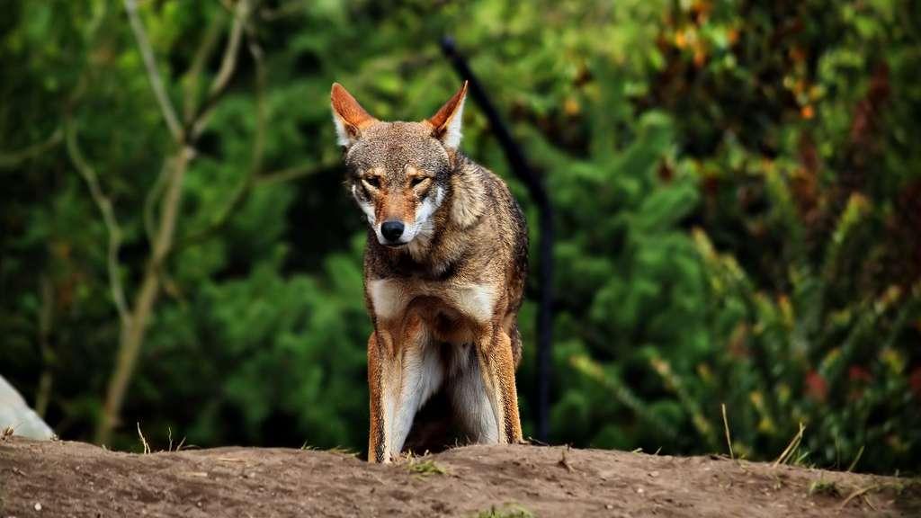 Le loup rouge, un vestige rare du Nouveau Monde