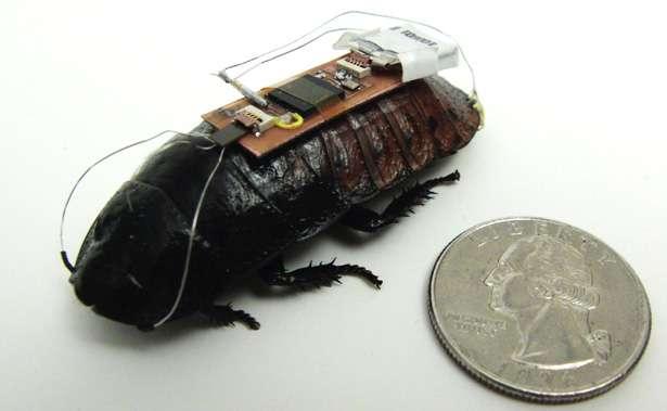 La blatte équipée de son système de pilotage à distance. On voit les deux électrodes qui partent vers l'avant pour s'implanter à la base des antennes, tout près du ganglion cérébral. Deux autres sont reliées aux cerques, des appendices prolongeant l'abdomen. La pièce de monnaie est un « quarter », mesurant 24,26 mm de diamètre. © Electrical and Computer Engineering