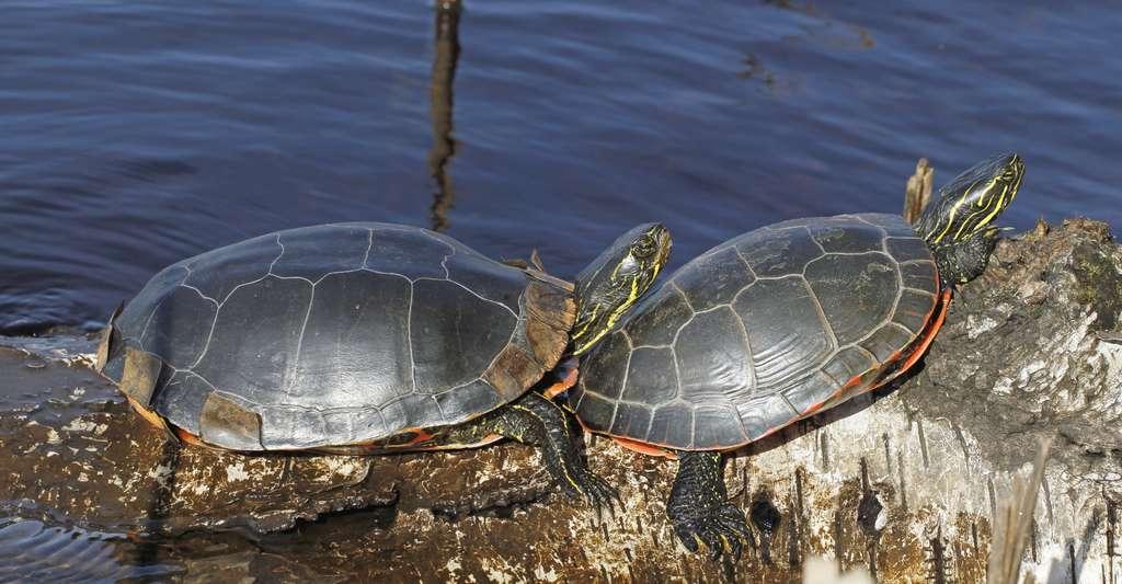 Les tortues peintes respirent par leur anus pour survivre dans le froid. Ici, elles se réchauffent au soleil. © juerpa68, Fotolia