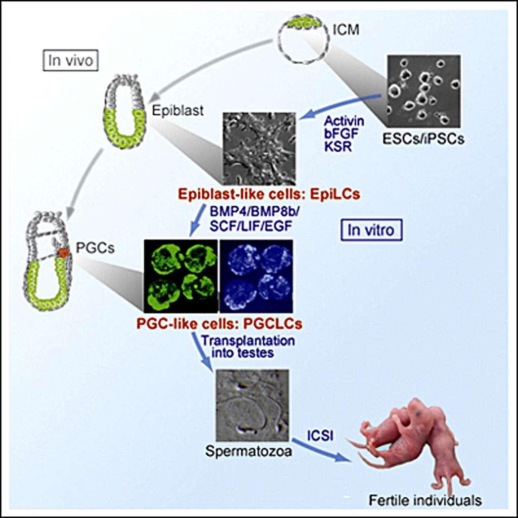 Les chercheurs ont prélevé des cellules souches embryonnaires au tout début de l'embryogénèse, au niveau de la masse cellulaire interne (ICM). Avec elles (ESCs) et avec des cellules souches induites (iPSCs), ils ont en culture obtenu des cellules ressemblant aux cellules de l'épiblaste embryonnaire (Epiblast-like cells) puis des cellules semblables aux cellules germinales primordiales (PGC-like-cell, PGCLCs). Transplantées dans les testicules d'une souris mâle, elles ont produit par spermatogénèse des spermatozoïdes fonctionnels. © Katsuhiko Hayashi et al./Cell