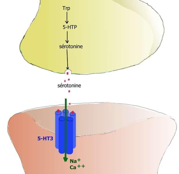 La sérotonine est un neurotransmetteur : elle est diffusée par un neurone et captée par le suivant, grâce à des récepteurs particuliers. La sérotonine joue un rôle avéré dans la régulation du sommeil et de l'humeur. Lorsque sa production est perturbée, sommeil et humeur s'en ressentent donc. © Pancrat